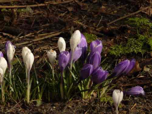 When the first crocuses appear...