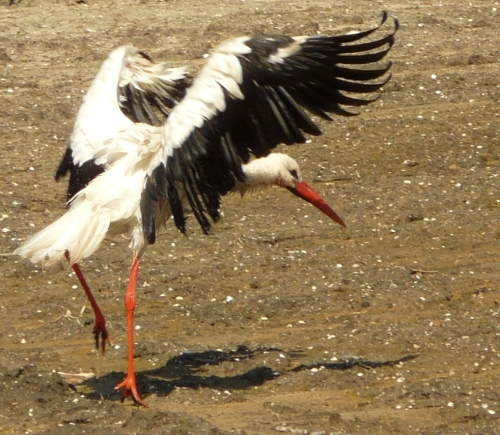 When the storks come back to stretch their wings...