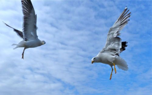 I don't often get a good shot of birds in flight. These gulls were good enough to hover a bit.