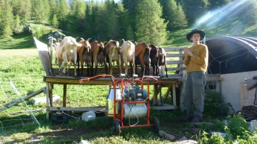 Milking the goats at la Vacherie