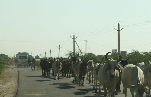 There are a few obstructions on the road to the Bishnoi village.