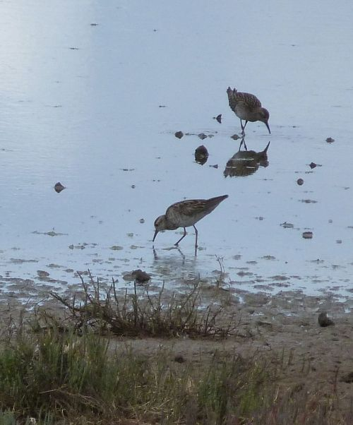 Curlew Sandpipers migrate here in the summer.
