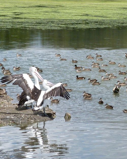 Pelicans and chestnut teals spread their wings.