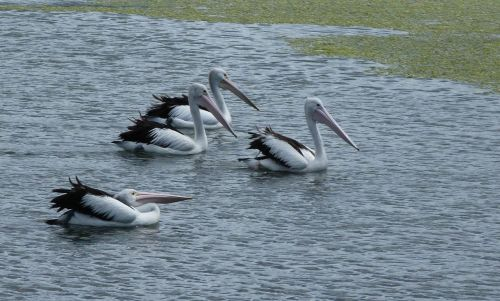 Australian pelicans are common in the park,  though they always impress me.