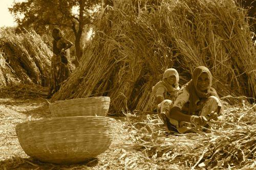 Threshing millet.