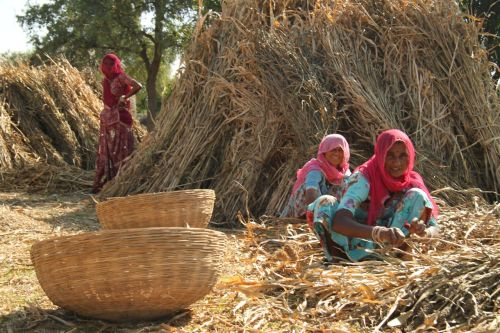 So far, so authentic. Bishnoi women sift grain for their cattle.