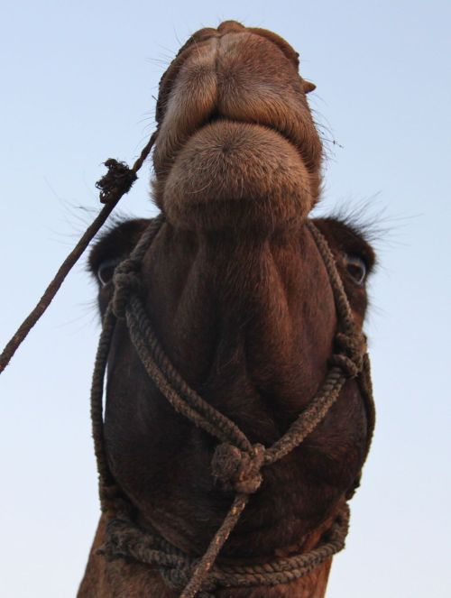The inscrutable face of the camel.