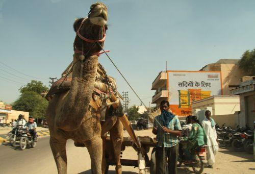 Bikaner street camel