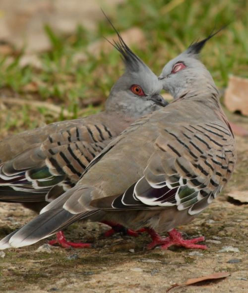 Crested pigeons are also indigenous, smaller and more gentle than the introduced feral pigeons. If these two lovebirds are anything to go by, new crested pigeons will soon be on the way.