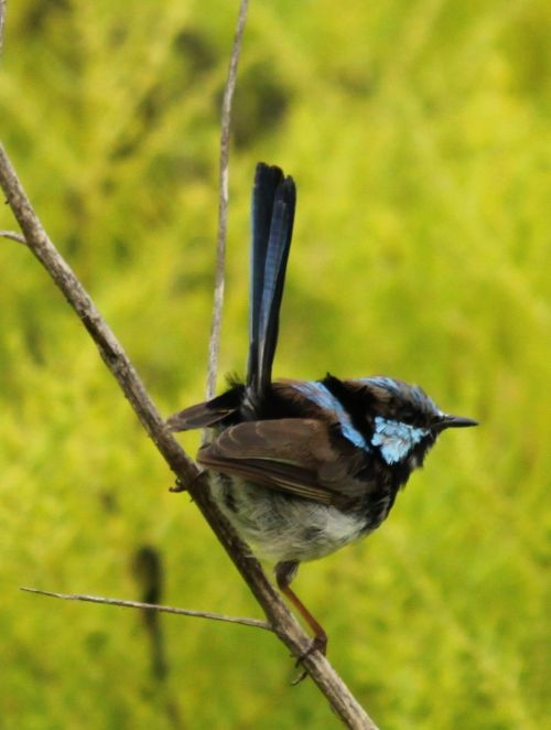 Superb Fairy-wren again. Another young one, I think, without full blue breeding plumage.