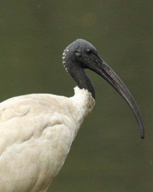 White Ibis; ugly, noisy and spreaders and eaters of garbage. Yet they can almost look noble.