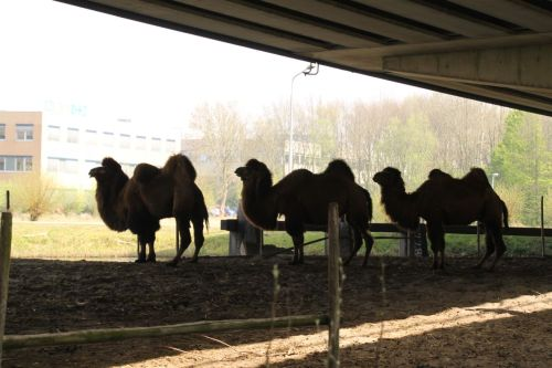 I'm sure there's a very good reason why camels shelter under a bridge near Naarden. I just can't think of it right now.