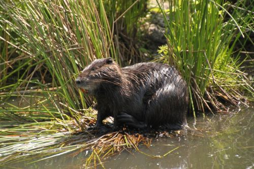 It's a muskrat. I looked it up.