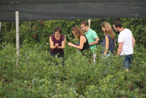 Picking blueberries.