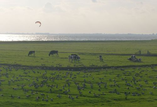 Geese, cows and whatever that parachute surfing sport is called.