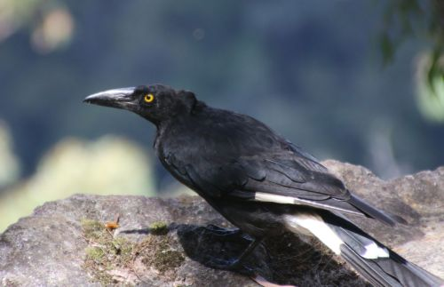 Currawong. They're common, cheeky, and mean to birds smaller than themselves, but I like them.