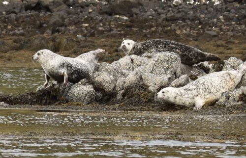 Grey seals - 'Quick get under water guys, here come the wildlife spotters!'