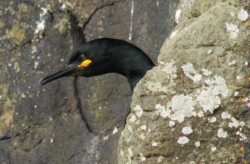 A shag on a rock.