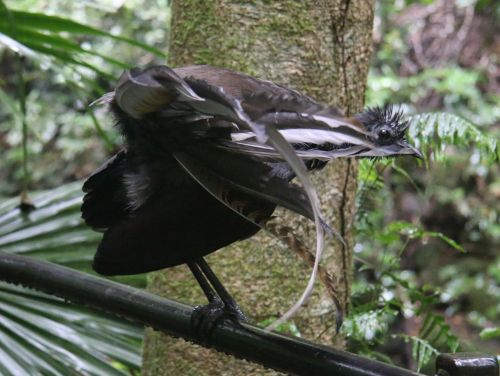 A lyrebird. Its extraordinary mimicking calls are often heard, though it's seldom seen this close up.