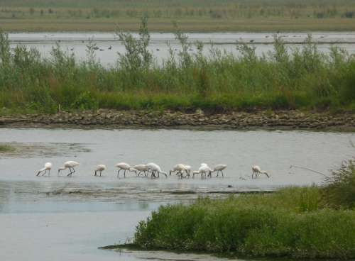 Spoonbills feeding in...