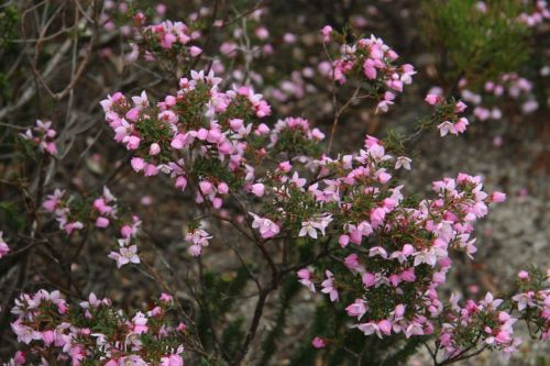 Boronia, I think.