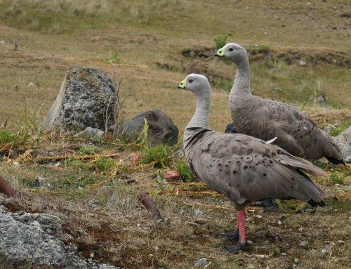 Cape Barren Geese - Maria Island