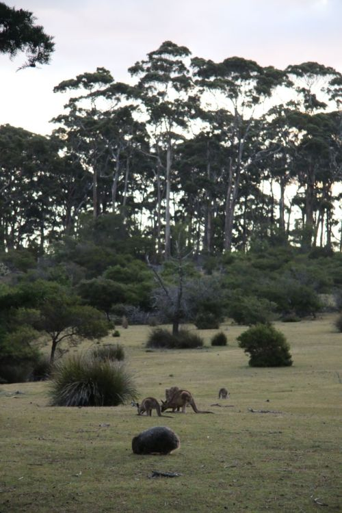 Kangaroos and wombat grazing