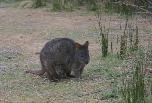 Pademelon with joey, Maria Island